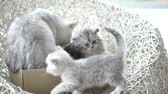 pet : American shorthair cat playing her kitten with love slow motion