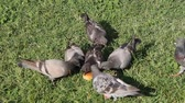 птицы : Group of pigeons in Sforzesco castle, Milan, Italy