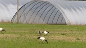 Sacred Ibis in Italy
