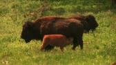 (1113) American Buffalo Bison Grazing on Ranch Pastures with Calves