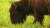 (1113C) Buffalo Bison Grazing Grass Pasture Cattle Ranch