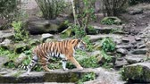тигр : Tiger walks around the pen in the zoo