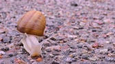 meztelen csiga : Snail is crossing the street