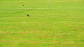 arremesso : Western Jackdaw on the cricket field