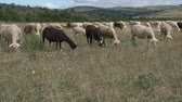 ovelha : Grazing sheep in the Cevennes medium shot