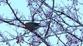 Bird bohemian waxwing winter