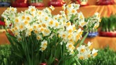 blooming narcissus flowers in the wind