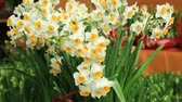 fresco : blooming narcissus flowers in the wind