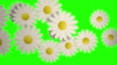 margarida : These are 9 different clips of white daisies flowers transitions
