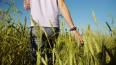 Back view of man walking in wheat field at summertime Wideo