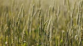 Wheat field with windy at summer, focus changes