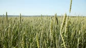 Panoramic view of  green  wheat  in field at summer Wideo