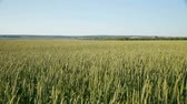 Panoramic view of  fresh  wheat  field at summer