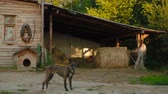 doghouse : The dog is guarding the barn in the stable Stock Footage
