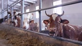 roof : cows in the cow shed eating hay Stock Footage