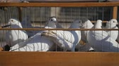 capturados : White wedding pigeons in cage, birds in captivity close up