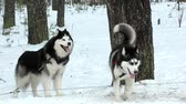 pet : Sled dogs Husky and malamute. Stock Footage