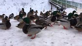 кряква : Wild ducks in the snow at the frozen water. Birds waiting for winter.