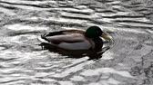 pato real : Drake Mallard on water. Duck birds in free nature closely. Archivo de Video