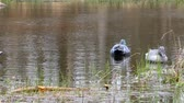 manequim : Hunting dummy on the water for decoy birds.