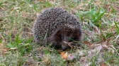 focinho : Hedgehog wild in the grass. Urchin animals in the natural environment.