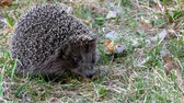 europaeus : Hedgehog wild in the grass. Urchin animals in the natural environment.