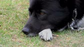 The muzzle of an adult dog close. Pet doggy lying on the grass. Vidéos Libres De Droits