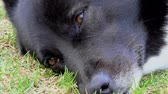 abrigo : The muzzle of an adult dog close. Pet doggy lying on the grass. Vídeos