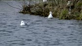 Seagulls swim in the water during the mating season. Wild birds in their natural environment. Stock Footage