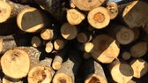 Trunks of cut pines in the forest. Felling of trees of wild nature. Stock Footage