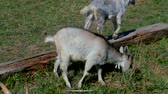 fű : Goats with kids graze on the lawn at the farm.