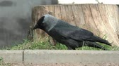 cornix : Jackdaw wild in the grass. Life of wild birds in the city. Stock Footage