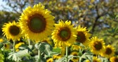 blooming : beautiful sunflower blossom blooming in natural flower garden
