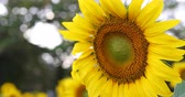 beautiful sunflower blossom blooming in farm of flower