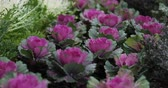 beautiful ornamental cabbage in nature garden Stock Footage
