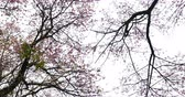 doi inthanon : little birds flying on tree himalayan cherry blossom, place of travel in doi inthanon national park chiang mai, thailand Stock Footage