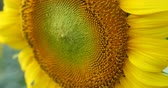 close-up sunflower, beautiful patterns texture in nature