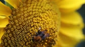 picar : Honey bee on flower collecting pollen.