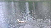 pato real : Duck swimming in the lake, animal in the wild with leak light