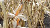 bruto : Maize corn ear in cultivated agricultural corn field