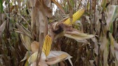 Corn on the cob in cultivated field with corn silk before harvest