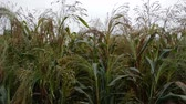 Field of millet under the stormy clouds 動画素材