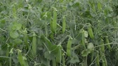 Green peas in the field. Growing peas in the field. Stems and pods of peas