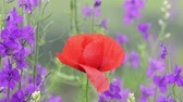 Close up view of a poppy flower and purple Angelonia flowers on field
