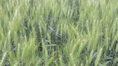 non urban scene : Organic barley wheat field swaying in the wind. Field with cereals