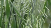 cravado : Agricultural background - green spikes of oats on the field, close-up