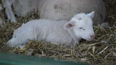 脊椎動物 : Cute litlle lamb on a farm