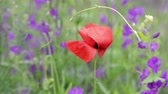 Poppy flower and Angelonia flowers in field, selective focus