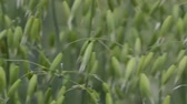 Beautiful oat plant on the wind in agricultural field with bokeh background. Selective focus