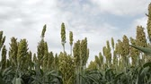 Field with sorghum swinging in the wind, sky in background